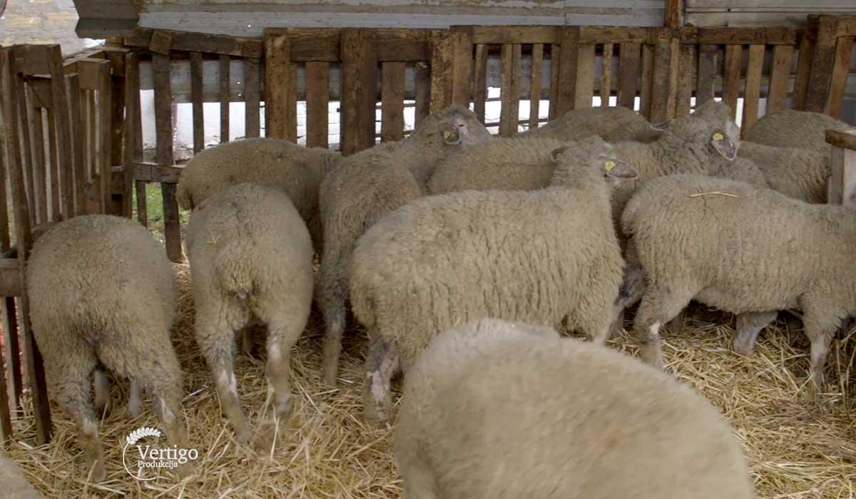 Agrosaveti - Farma virtemberg ovaca u Ravnom Selu 04