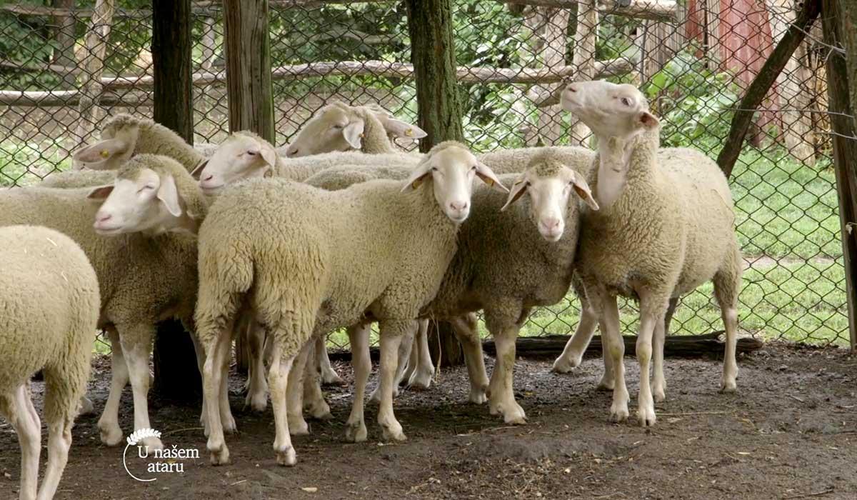 Agrosaveti - Farma virtemberg ovaca u Ravnom Selu 05