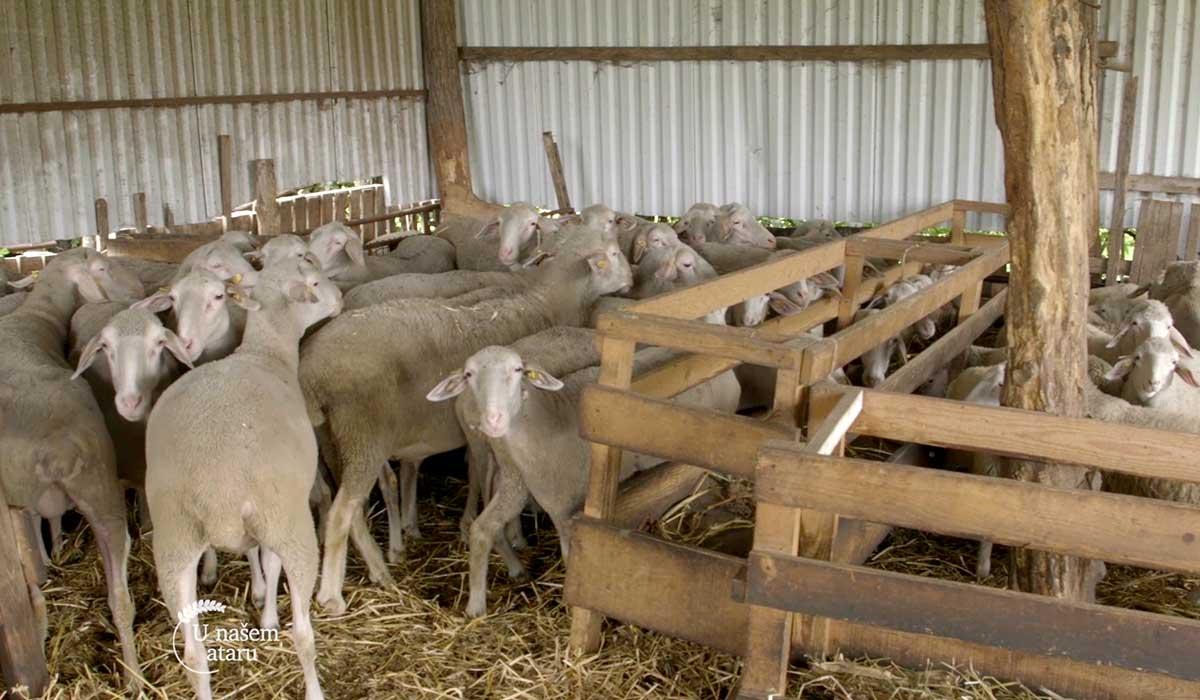 Agrosaveti - Farma virtemberg ovaca u Ravnom Selu 06