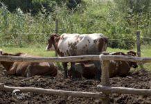 Agrosaveti - Jedina farma krava u selu Kolut 04