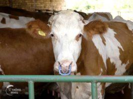 Agrosaveti - Jedina farma krava u selu Kolut 06