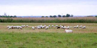 Agrosaveti - Krađa ovaca na salašu u Đurđevu 01