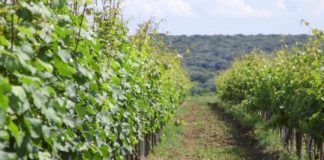 Agrosaveti - Obnavljanje vinogorja 01