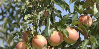 Agrosaveti - Plantaža jabuka Kamendol 06