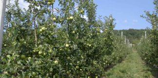 Agrosaveti - Plantaža jabuka Mužinci 06
