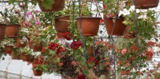 Agrosaveti - Proizvodnja cveća u Bačincima 09