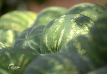 Agrosaveti - Proizvodnja lubenica u Platičevu 03