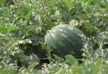 Agrosaveti - Proizvodnja lubenica u Platičevu 04