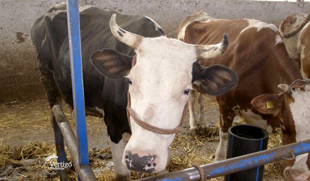 Agrosaveti - Proizvodnja mleka u selu Sanad 03
