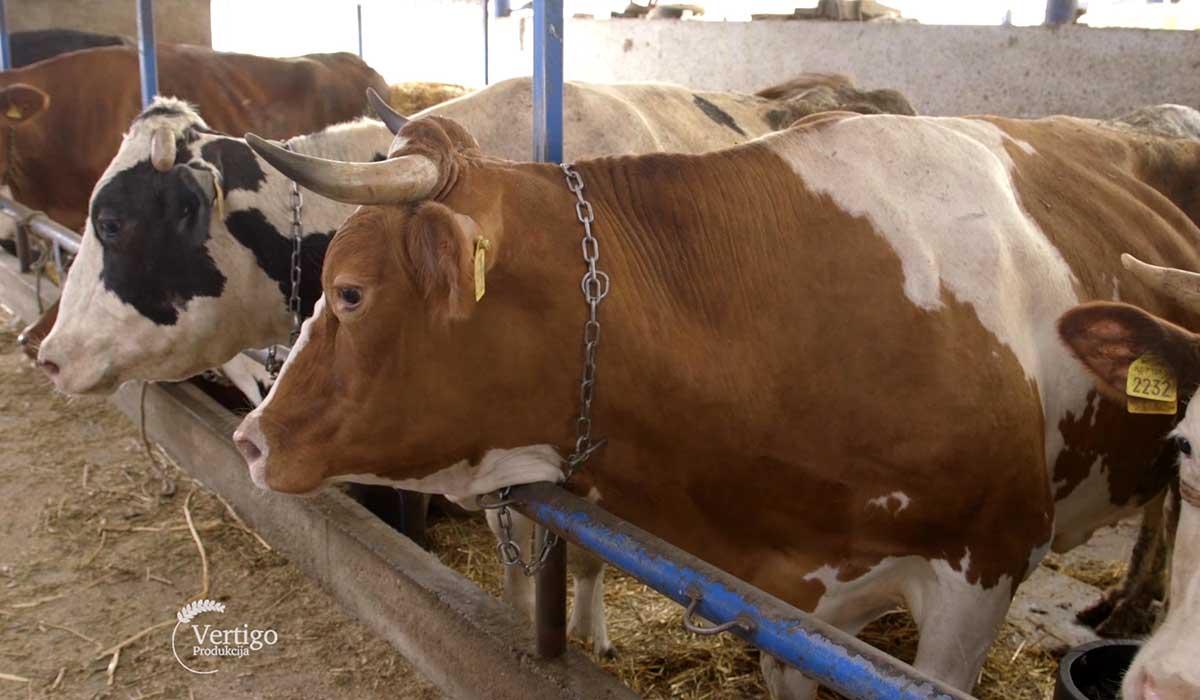 Agrosaveti - Proizvodnja mleka u selu Sanad 04