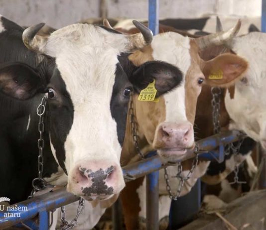 Agrosaveti - Proizvodnja mleka u selu Sanad 06