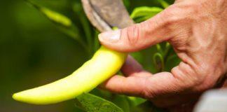 Agrosaveti - Proizvodnja začinske paprike 01