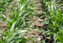 Agrosaveti - Ratarska proizvodnja u Padini 06