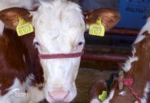 Agrosaveti - Rezultati dobre genetike u mlečnom govedarstvu 05