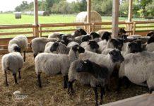 Agrosaveti - Romanovske ovce u selu Kolut 04