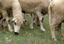 Agrosaveti - Sjenička ovca 01