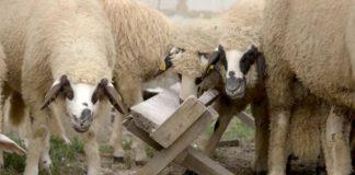 Agrosaveti - Sjenička ovca 03