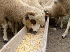 Agrosaveti - Sjenička ovca 04
