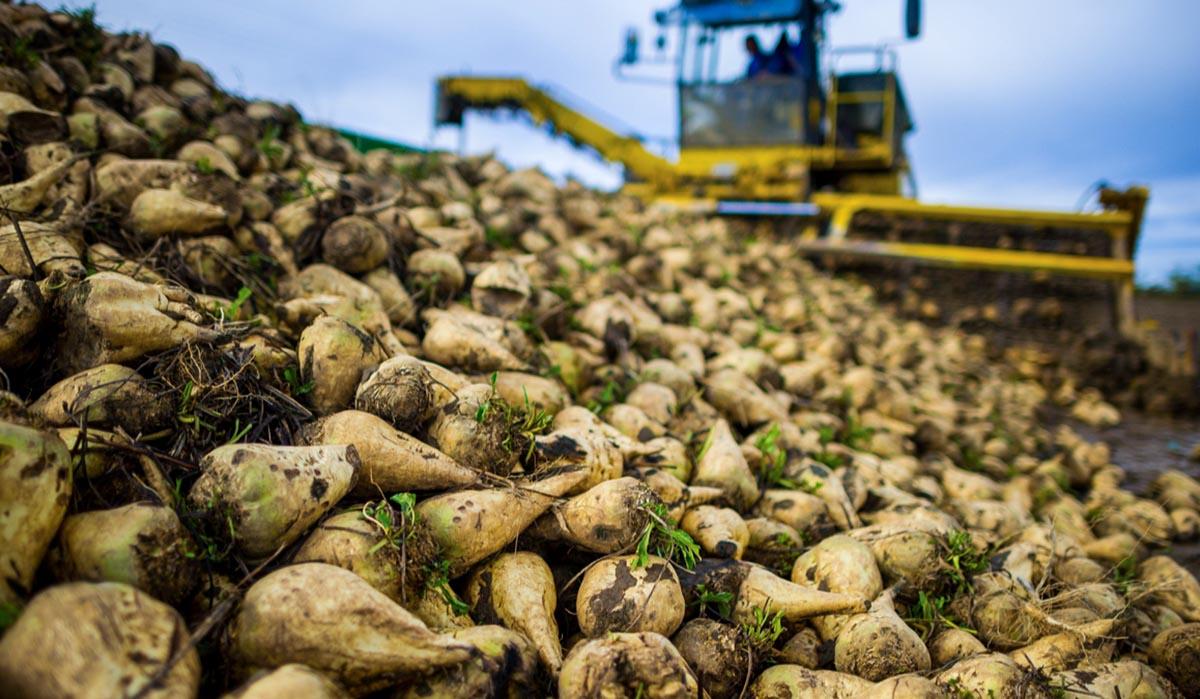 Agrosaveti - Vađenje šećerne repe 01