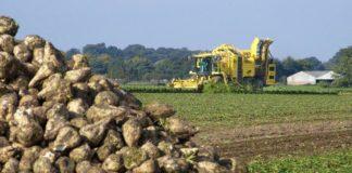 Agrosaveti - Vađenje šećerne repe 02