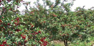 Agrosaveti - Voćarska proizvodnja u Bačkoj Topoli 03