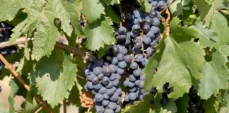 Agrosaveti - Zaštita vinove loze Syngenta 05