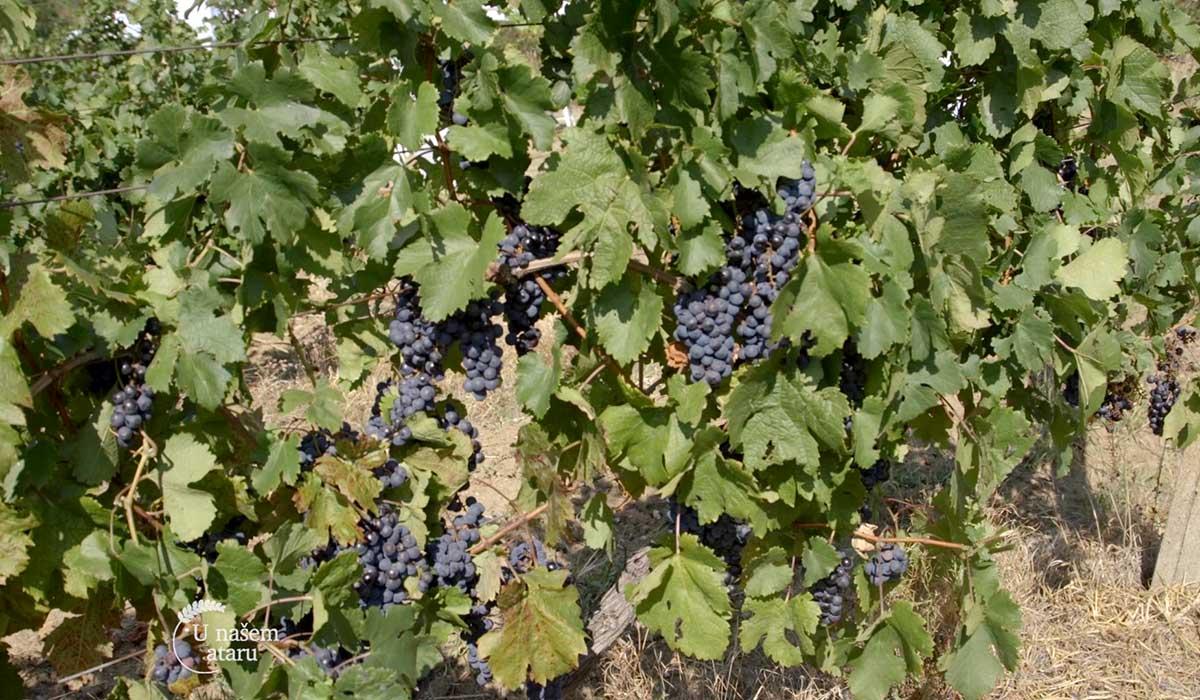 Agrosaveti - Zaštita vinove loze Syngenta 06