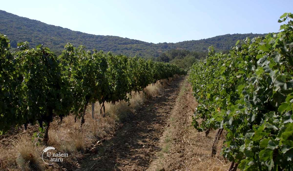Agrosaveti - Zaštita vinove loze Syngenta 07