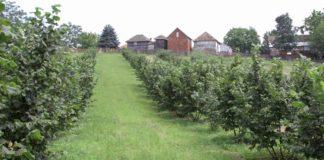 Agrosaveti - Zasadi lešnika 05
