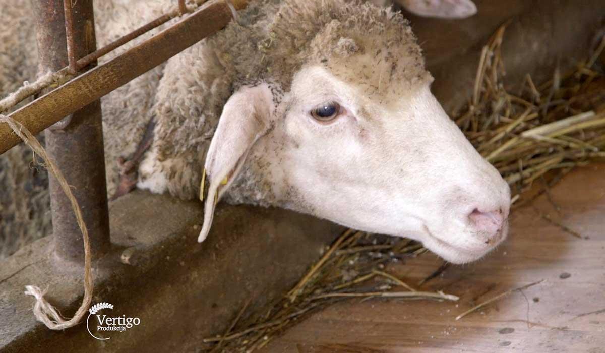 Agrosaveti - Farma Ile de France ovaca 01