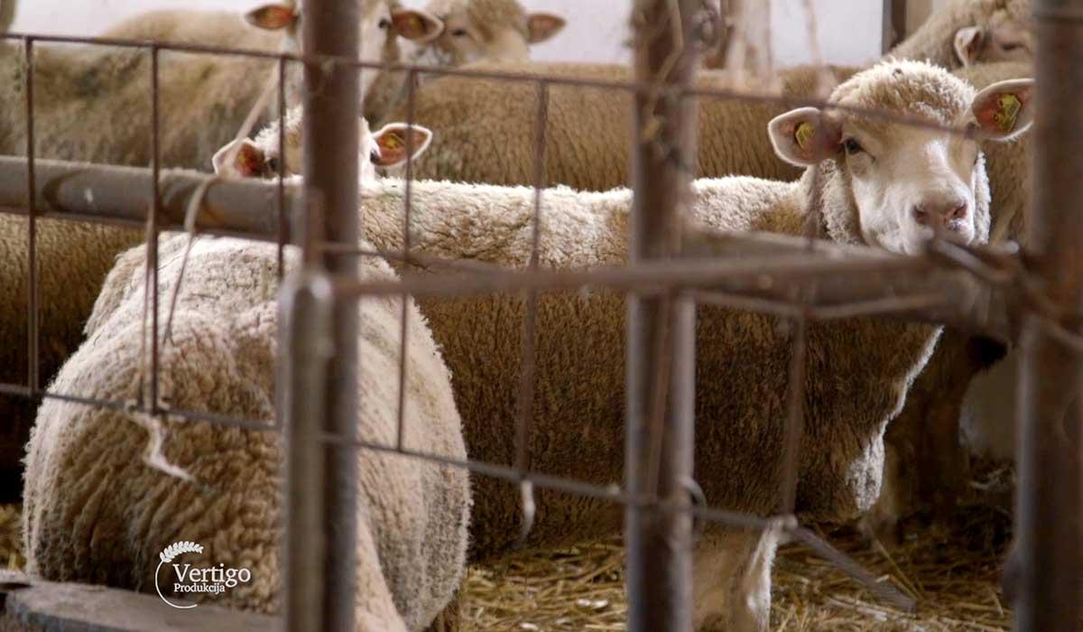 Agrosaveti - Farma Ile de France ovaca 03