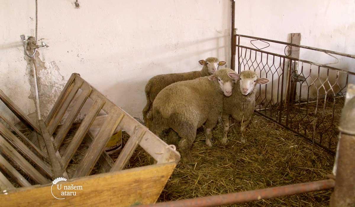 Agrosaveti - Farma Ile de France ovaca 04