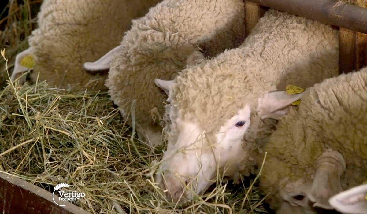 Agrosaveti - Farma Ile de France ovaca 05