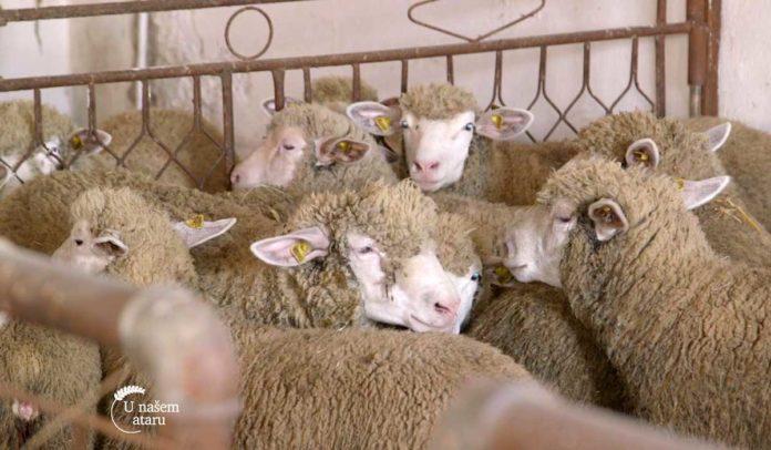 Agrosaveti - Farma Ile de France ovaca 06