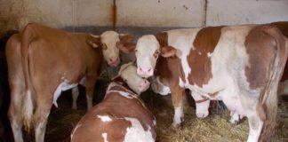 Agrosaveti - Farma krava u Kovilju 04