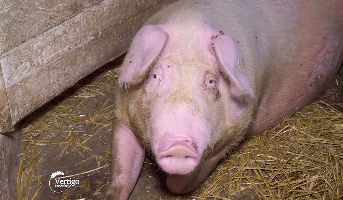Agrosaveti - Farma svinja u Bačkom Brestovcu 01