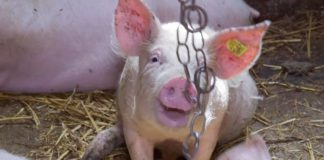 Agrosaveti - Farma svinja u Bačkom Brestovcu 05