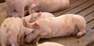 Agrosaveti - Farma svinja u selu Vrbovac 02