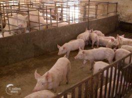 Agrosaveti - Farma svinja u selu Vrbovac 04