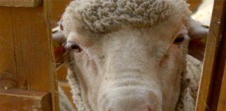 Agrosaveti - Izložba ovaca u Sanadu 05
