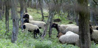 Agrosaveti - Lipska ovca 06