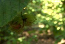 Agrosaveti - Organska proizvodnja lešnika 01