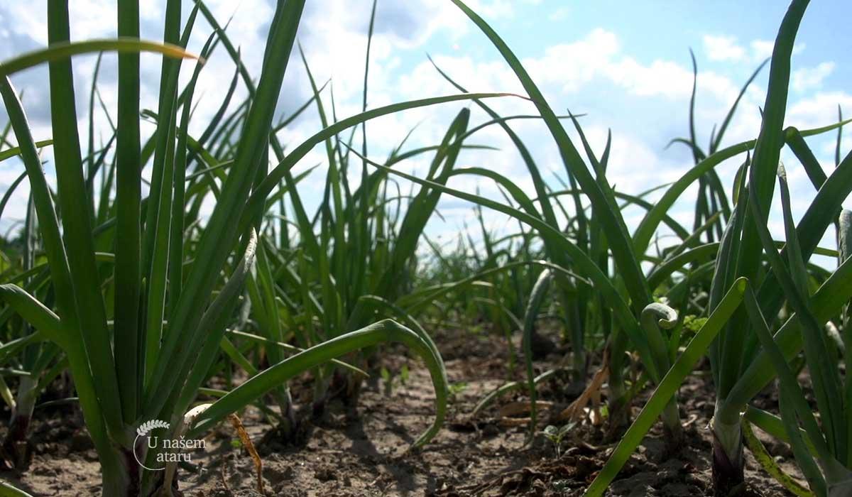 Agrosaveti - Organsko povrtarstvo u selu Gložan 03
