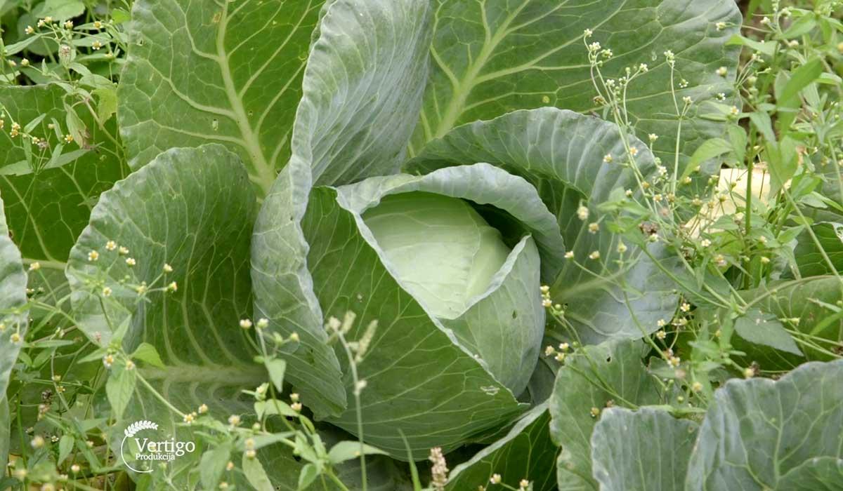 Agrosaveti - Plastenička proizvodnja povrća u selu Štrbac 04