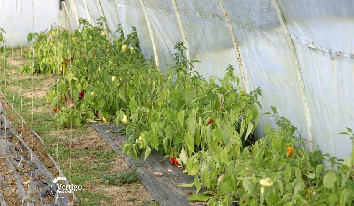 Agrosaveti - Plastenička proizvodnja povrća u selu Međulužje 01