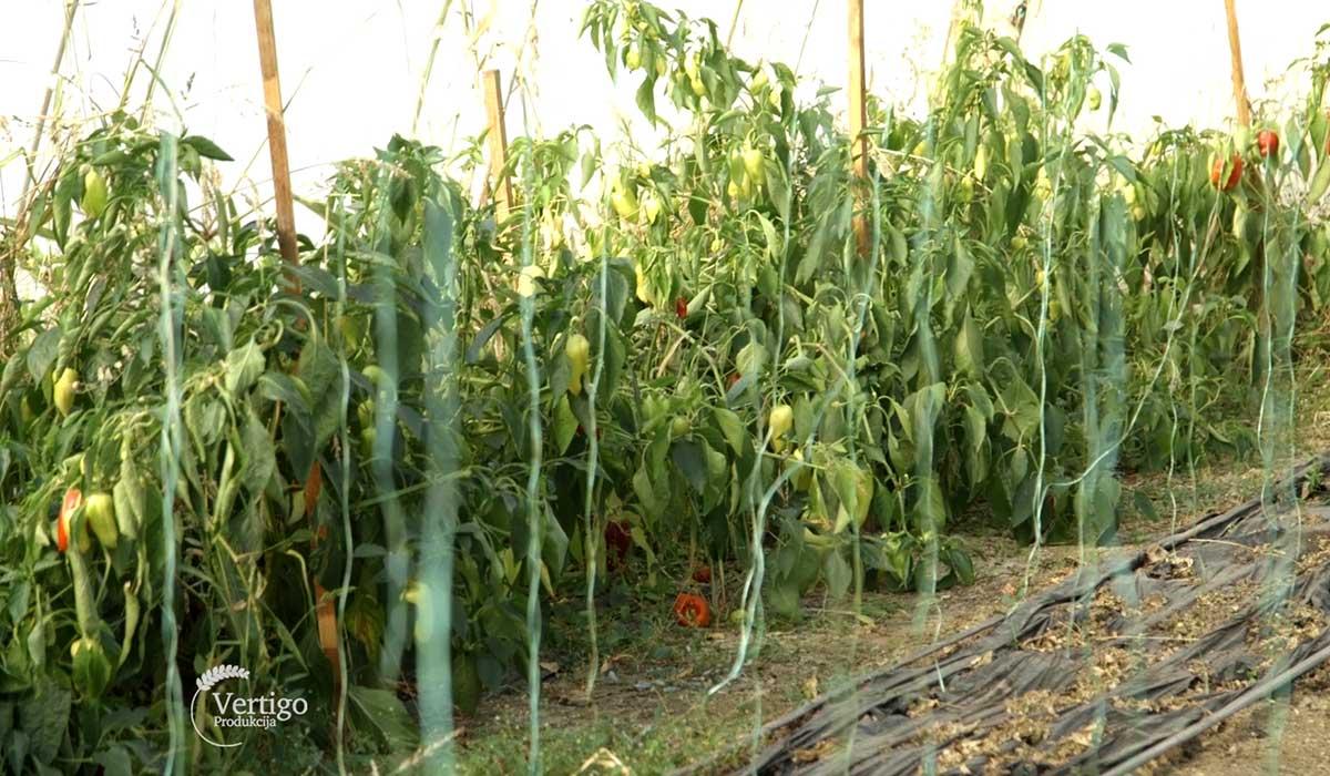 Agrosaveti - Plastenička proizvodnja povrća u selu Međulužje 02