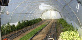 Agrosaveti - Plastenička proizvodnja povrća u selu Međulužje 04