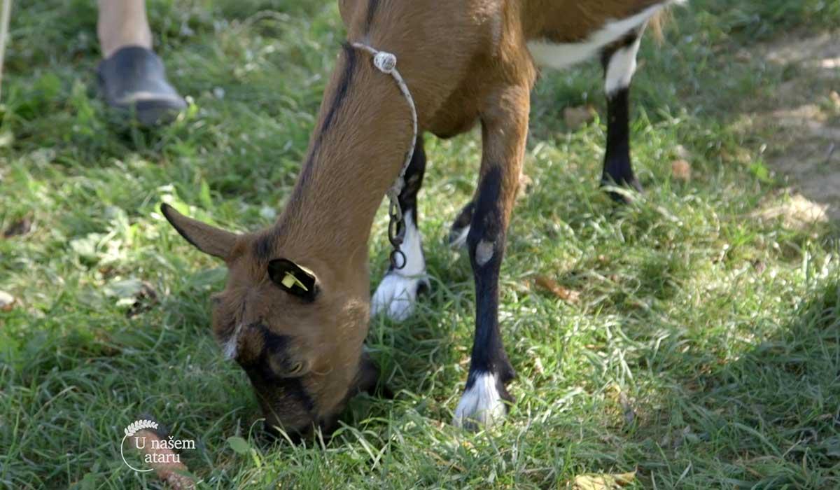 Agrosaveti - Proizvodnja delikatesnih kozjih sireva 02