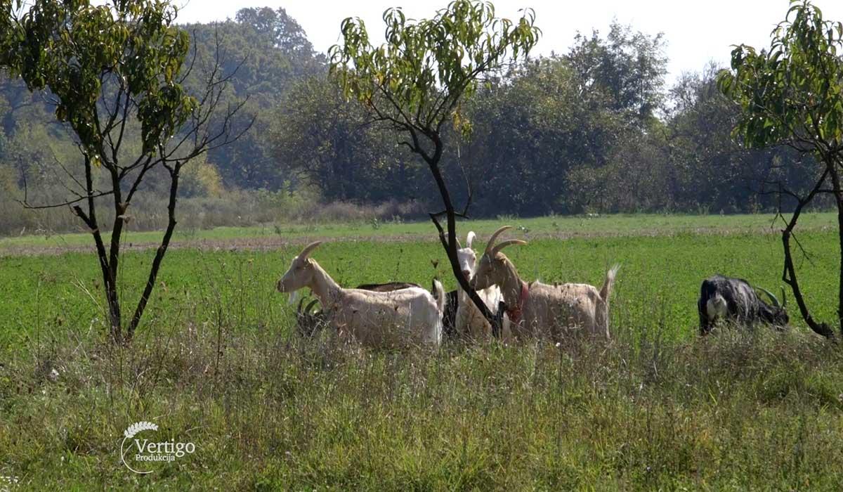 Agrosaveti - Proizvodnja delikatesnih kozjih sireva 03