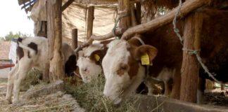 Agrosaveti - Proizvodnja mleka u Sanadu 03